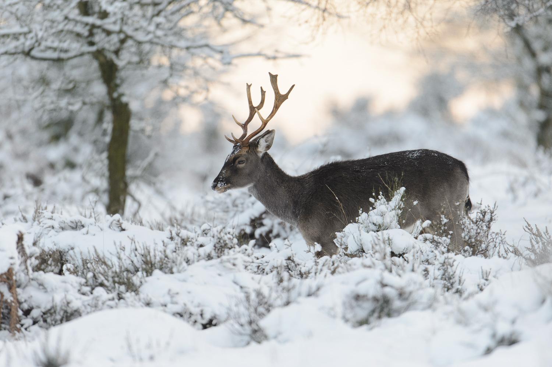 Fallow Deer Buck in Winter