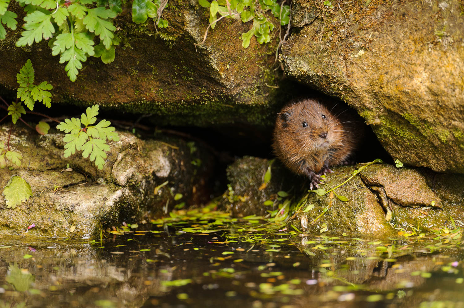 Curious Water Vole