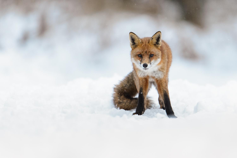 Wintry Fox