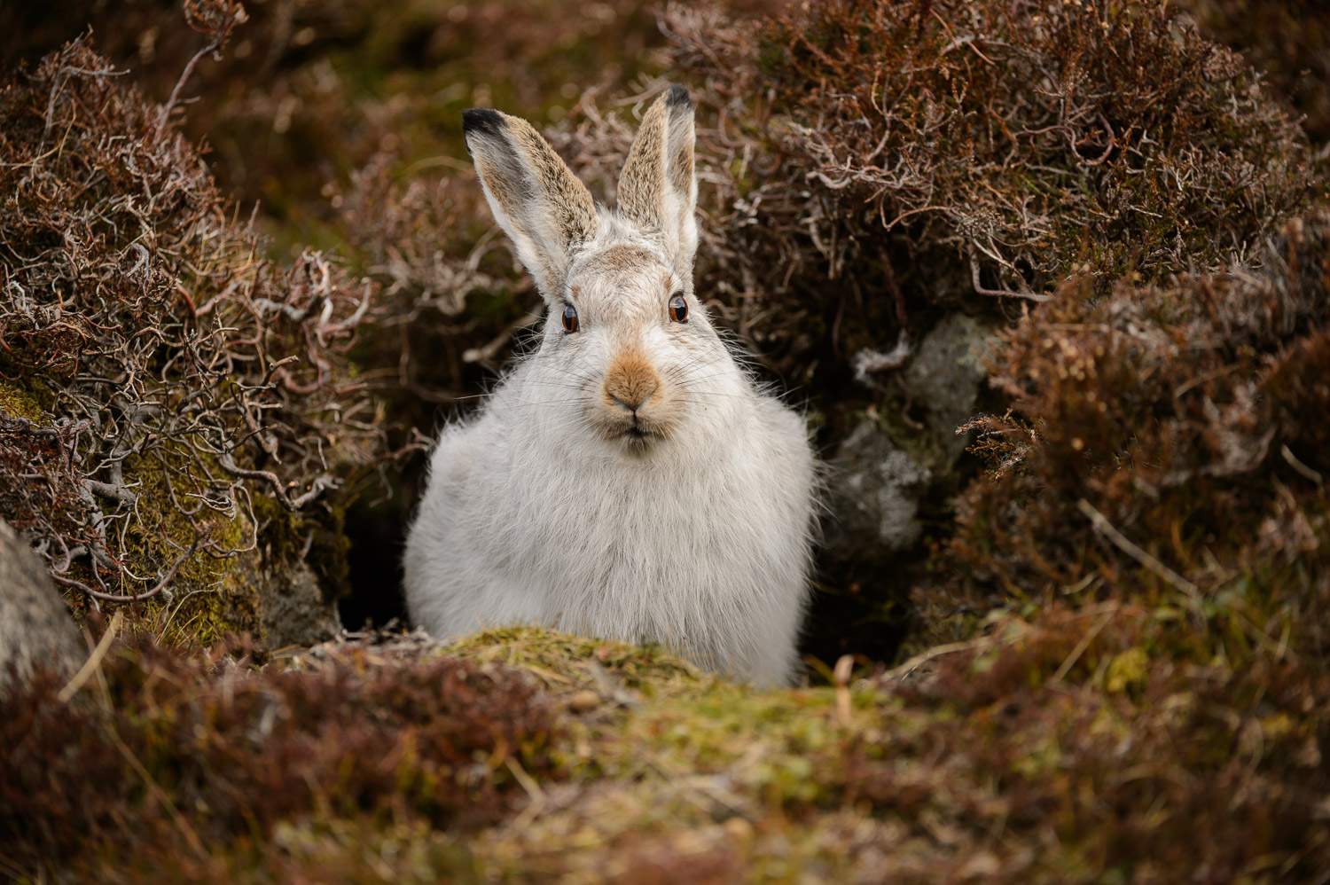 Mountain Hare in its Form