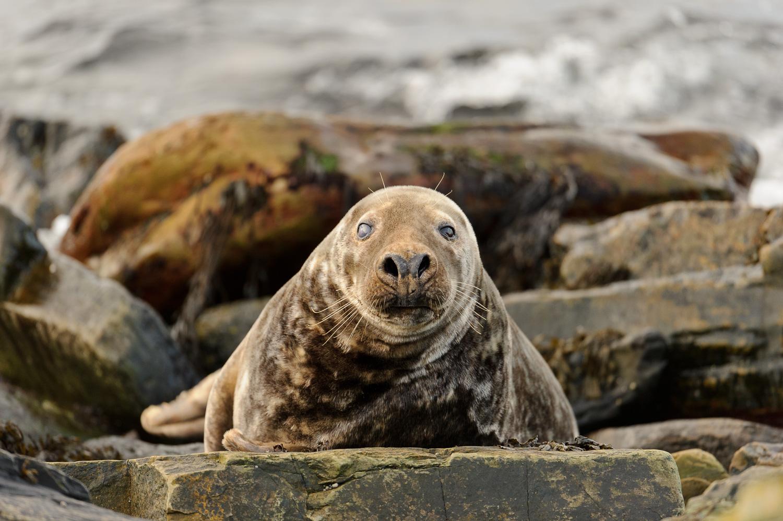 Grey Seal Male