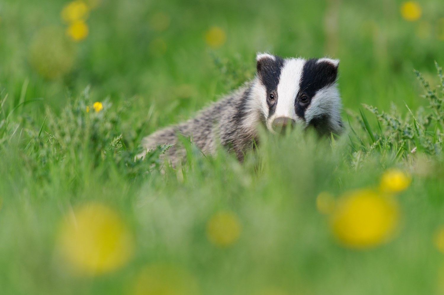 Badger and Dandelions