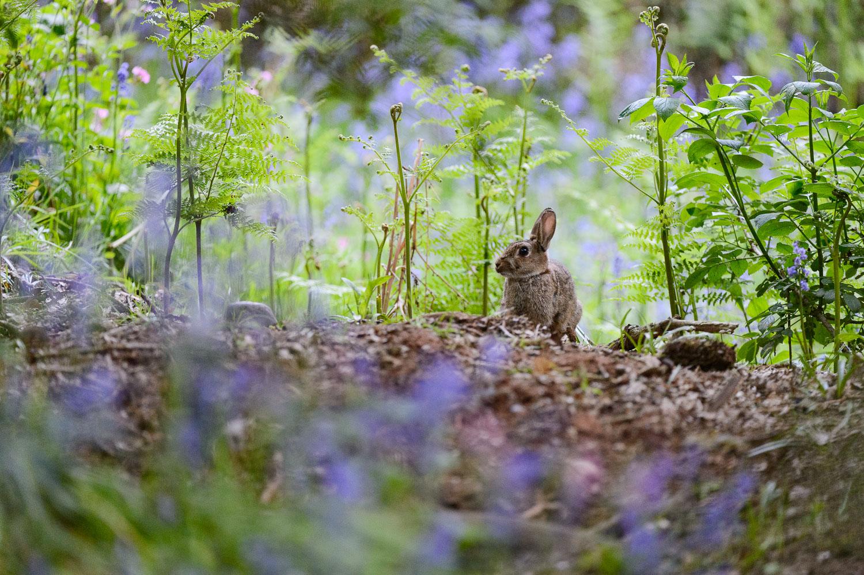 Rabbit in Bluebells