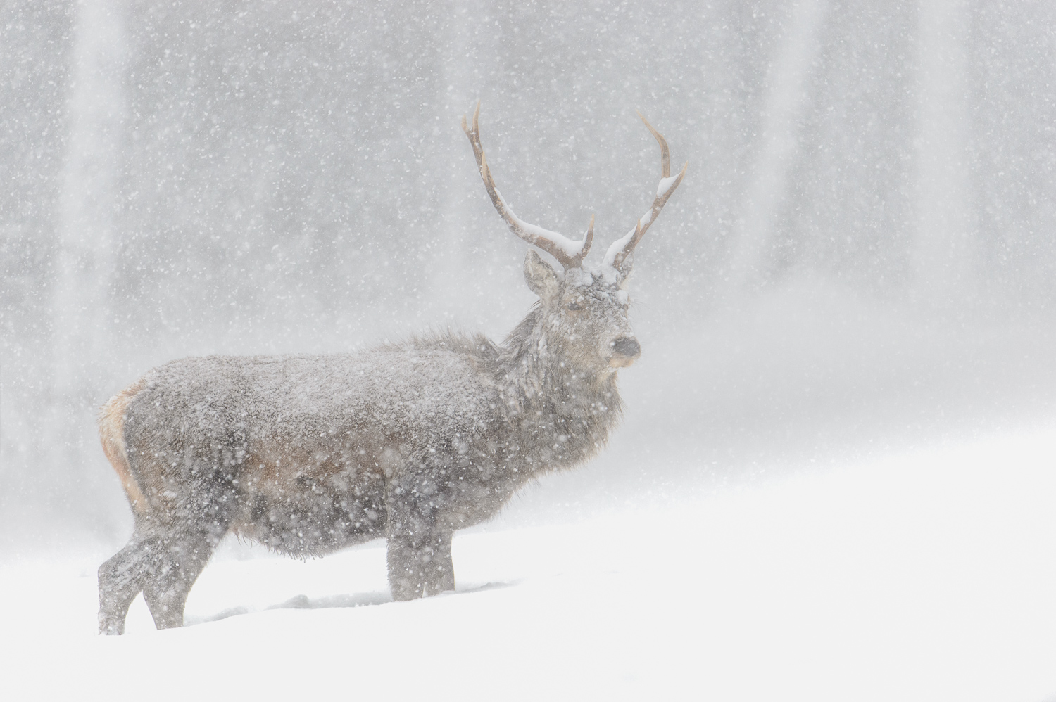 Stag in a Blizzard