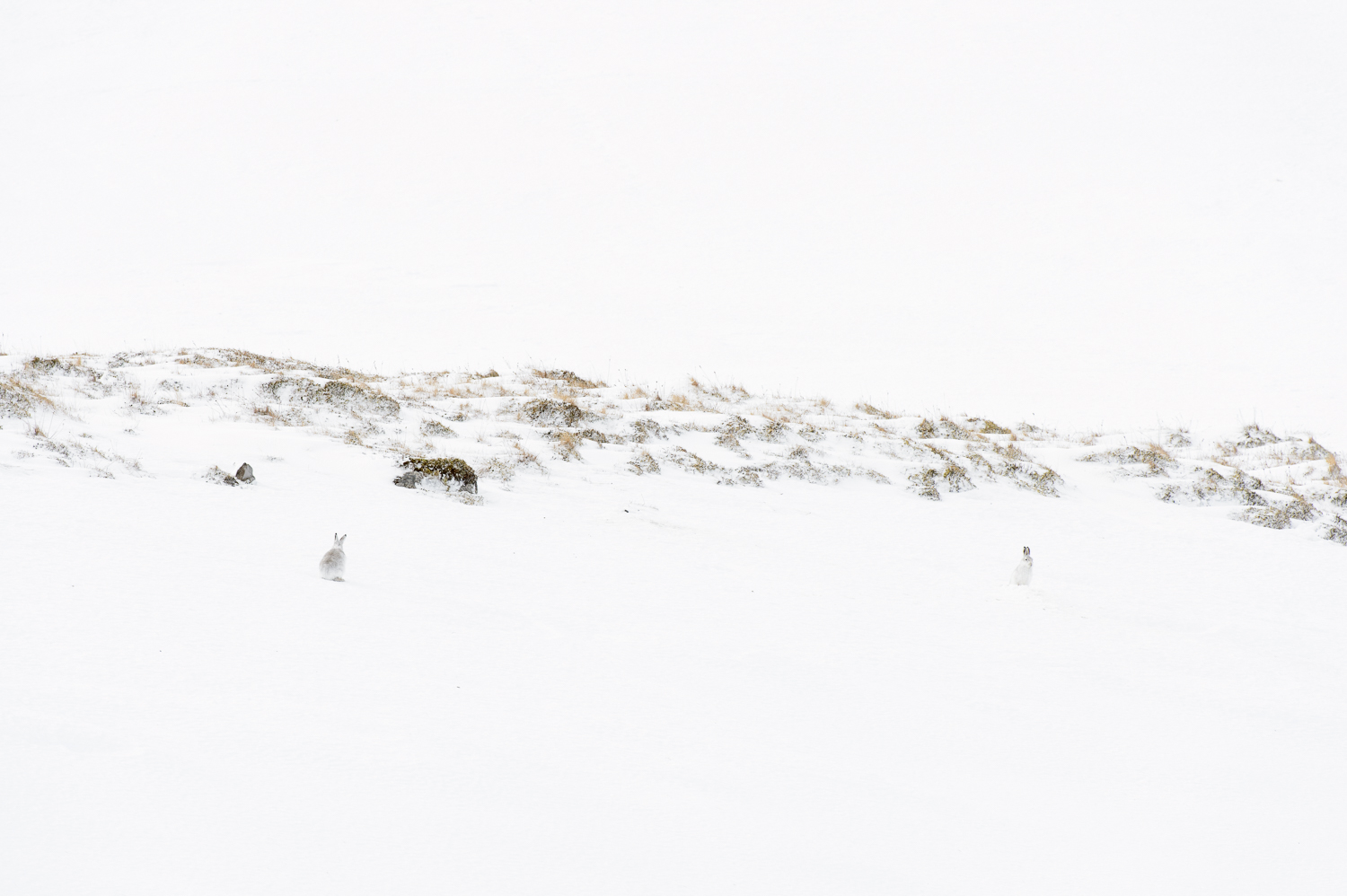 Mountain Hare Courtship