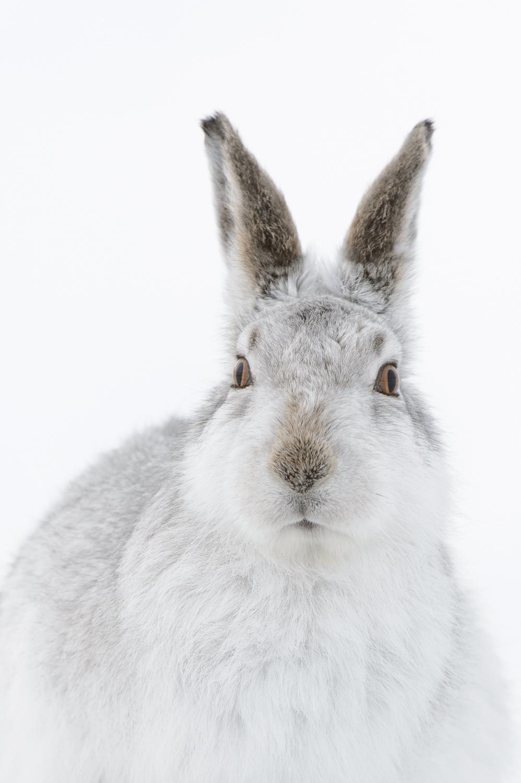 Mountain Hare Portrait