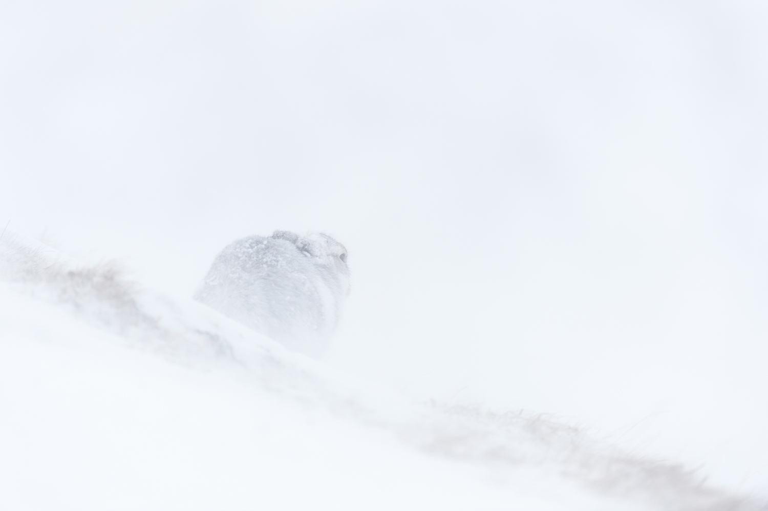 Sheltering Mountain Hare