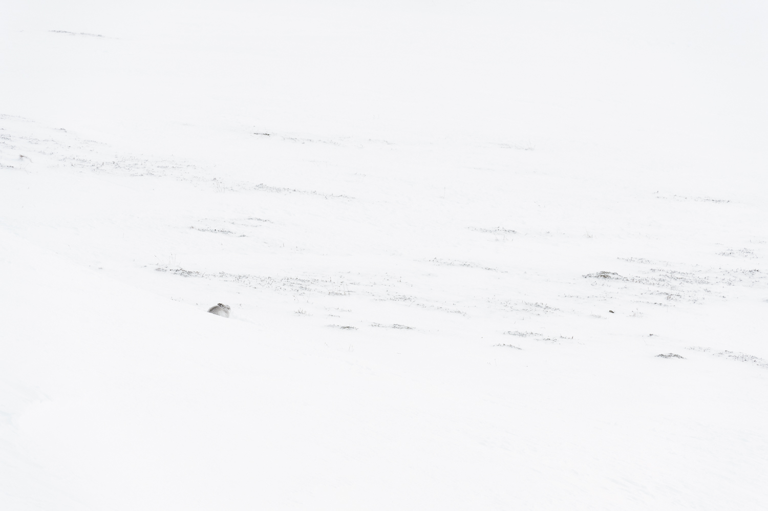 Mountain Hare in the Cairngorms
