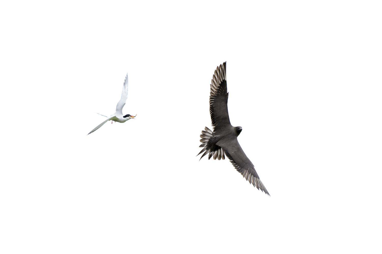 Arctic Tern and Arctic Skua