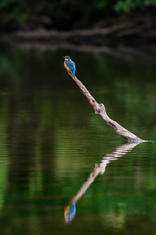 Kingfisher Reflection