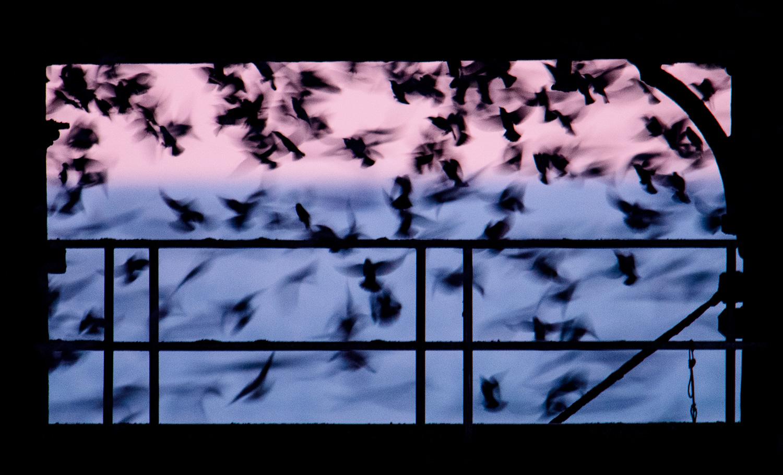 Starlings Under Aberystwyth Pier