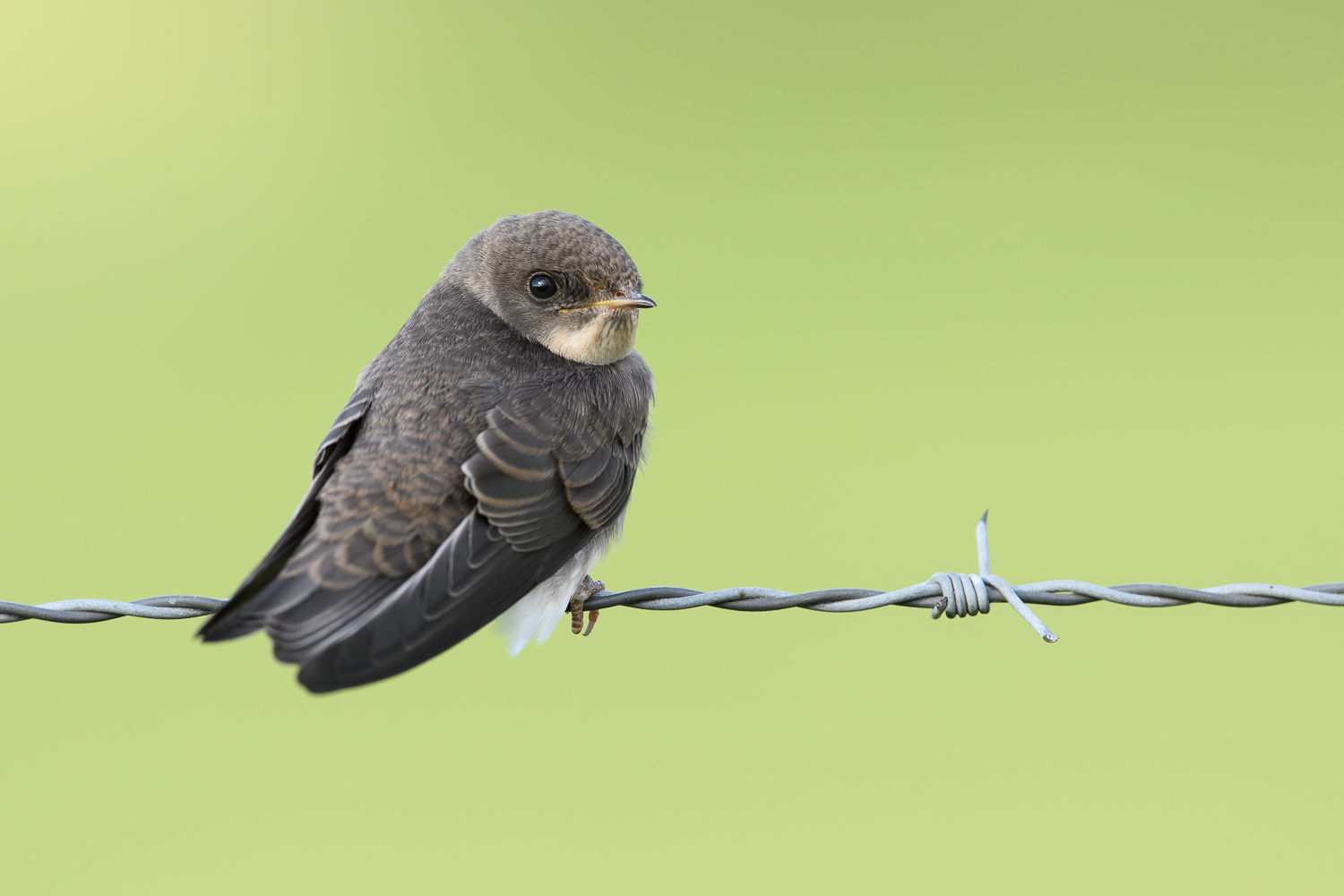 Sand Martin on Barb Wire Fence