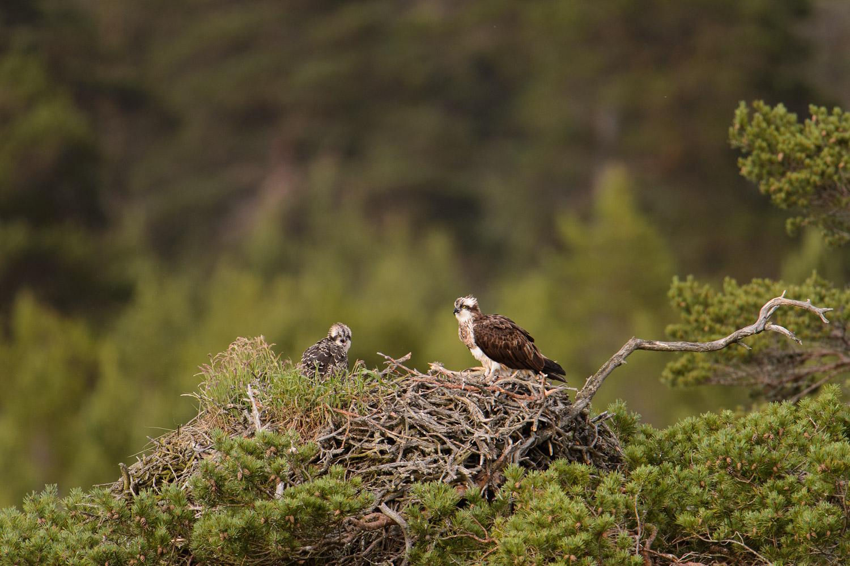 Ospreys on Nest