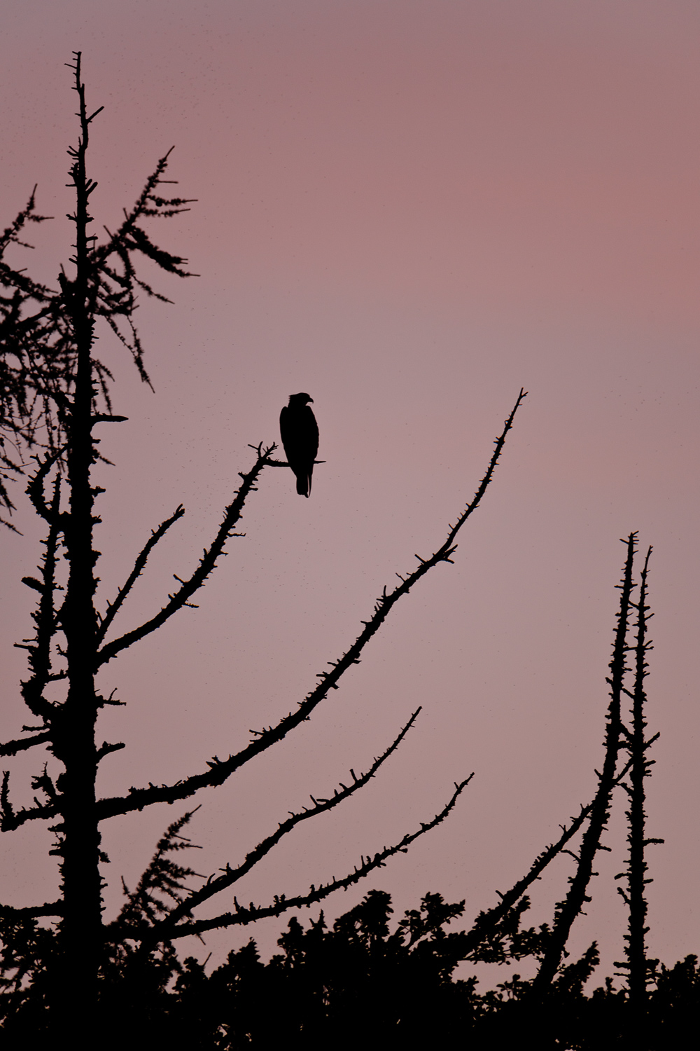 Osprey Silhouetted in a Tree