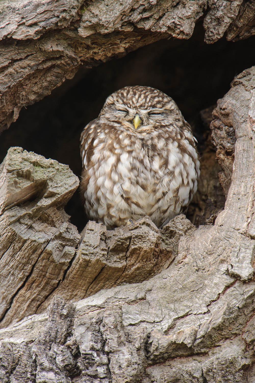 Sleepy Little Owl