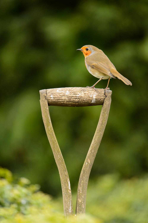 Robin in a Garden