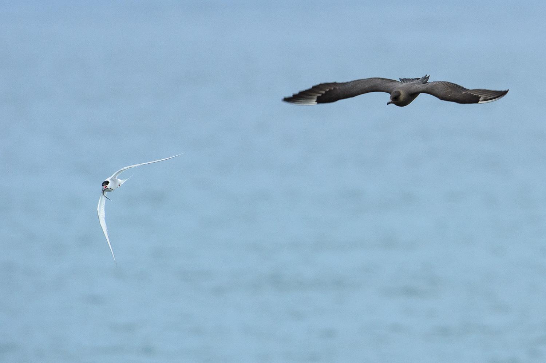Arctic Skua and Artic Tern