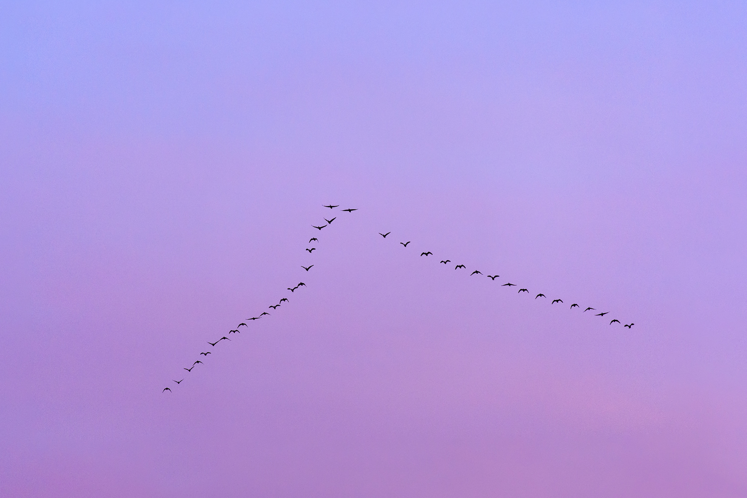 Pink-Footed Geese at Dawn