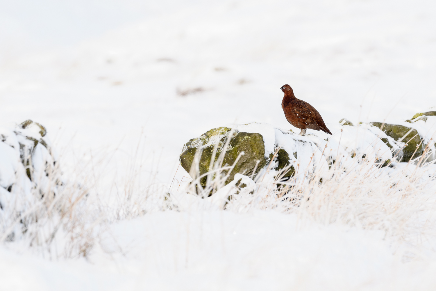 Red Grouse in the Peak