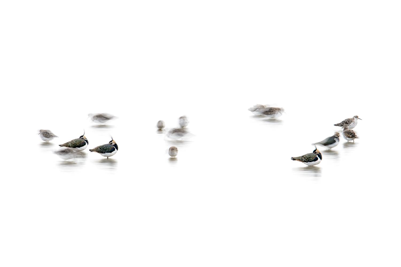 Roosting Lapwings