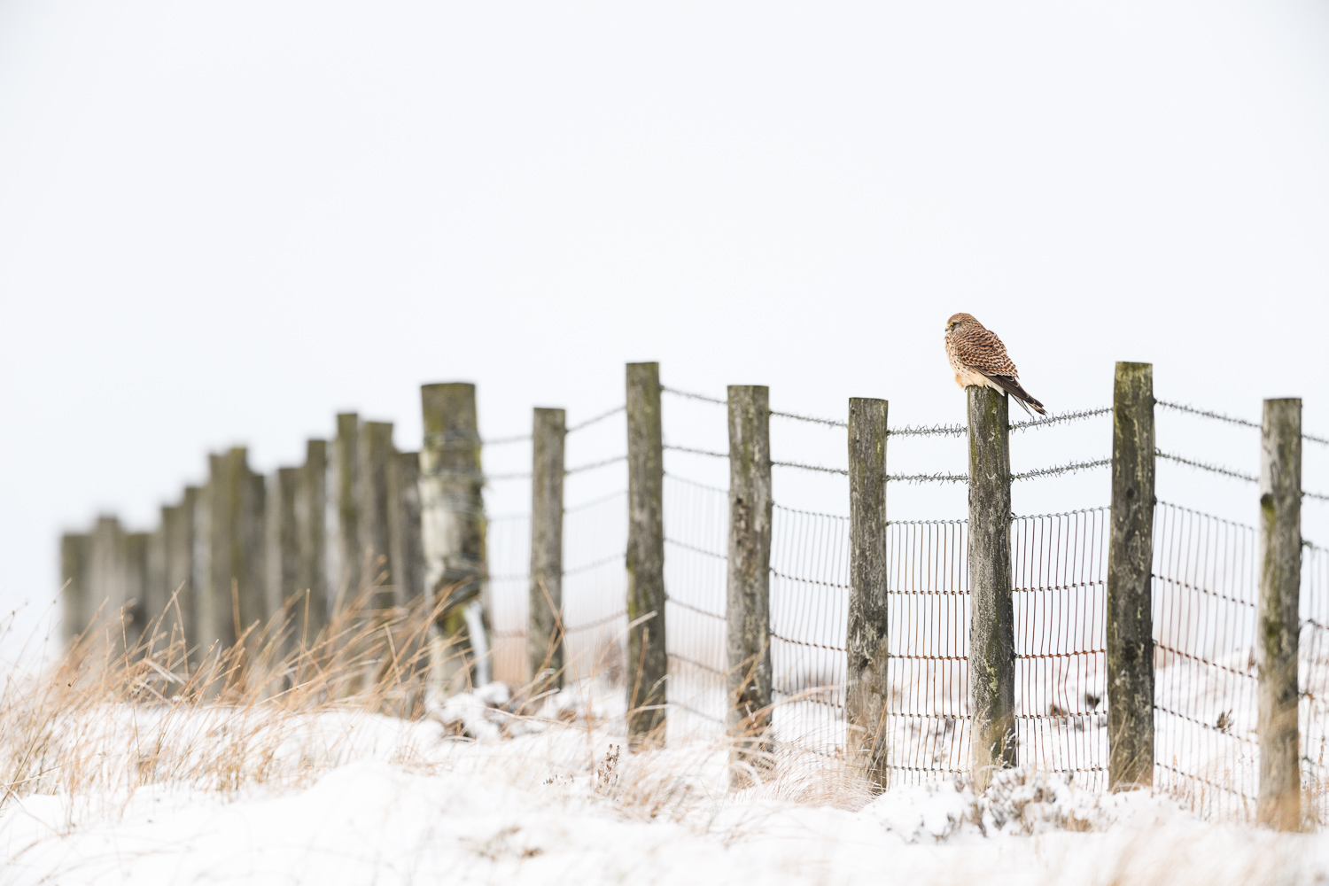 Kestrel in a Wintry Peak District