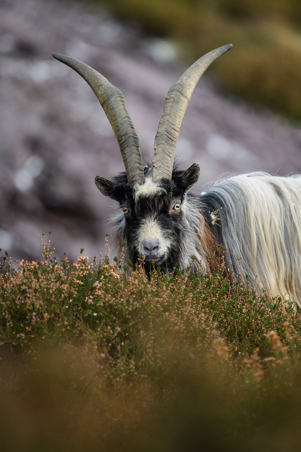 Welsh Mountain Goat Billy