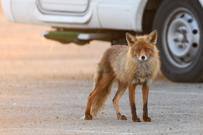 Urban Fox