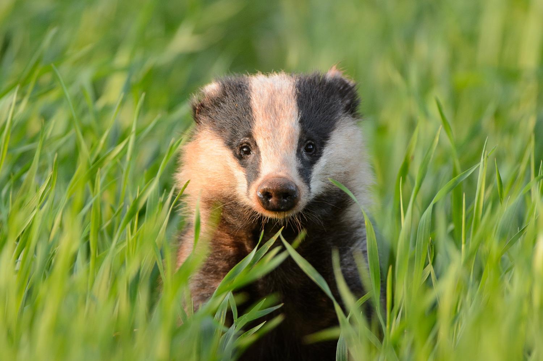 Badger in Crops