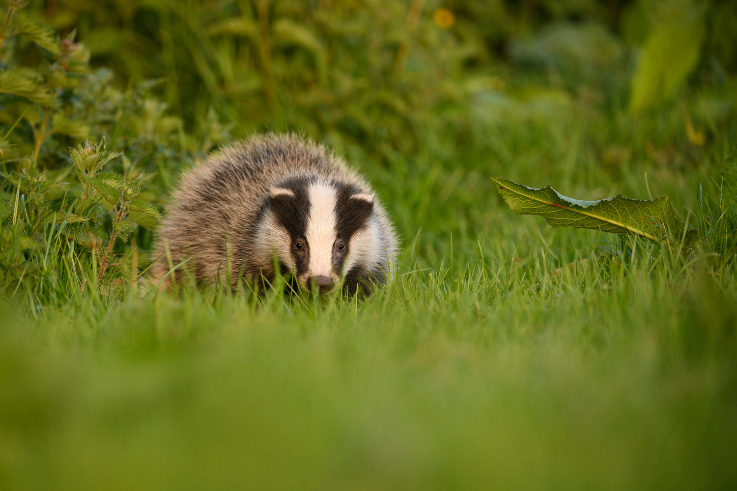 Young Badger Cub