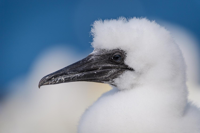 Northern Gannet Chick