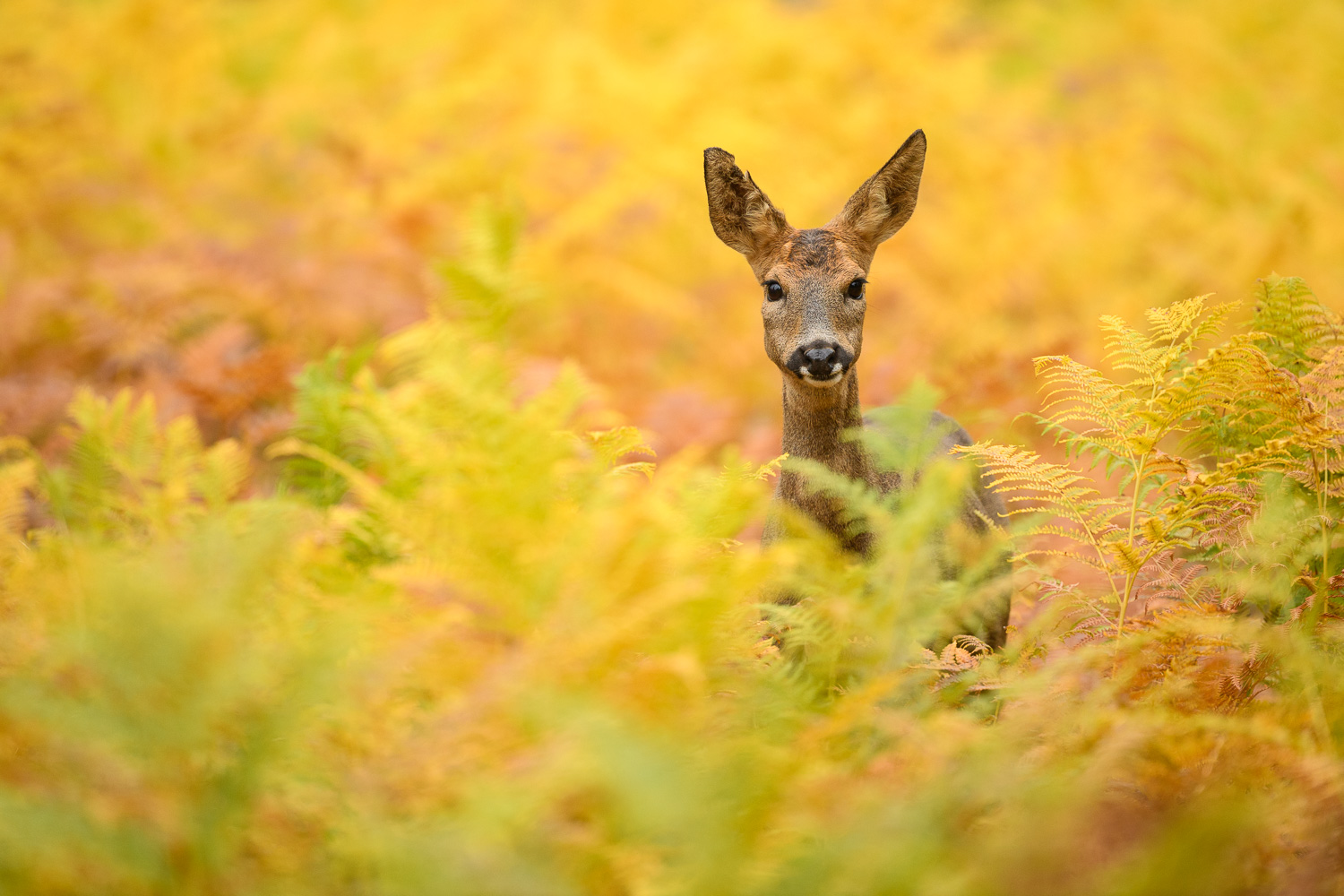 Roe Deer Doe In Yellow Bracken