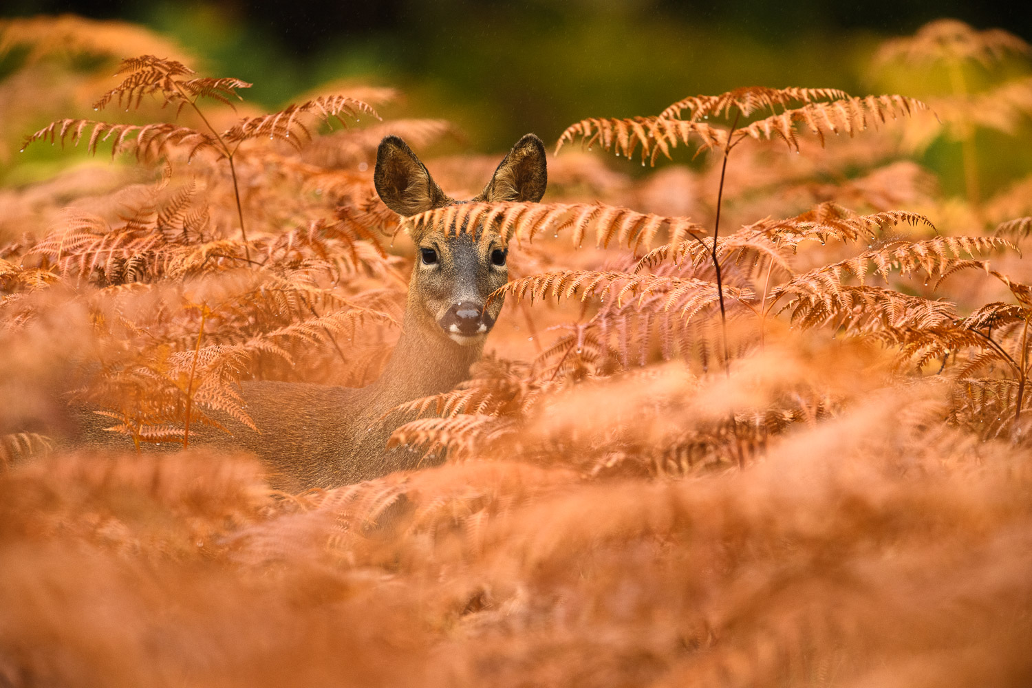 Roe Deer Doe In Red Bracken