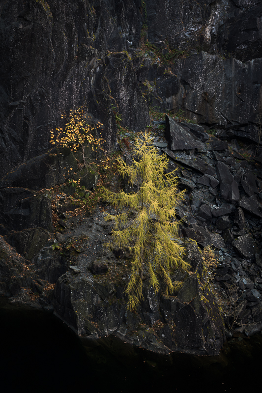 Larch Tree Hodge Close Quarry