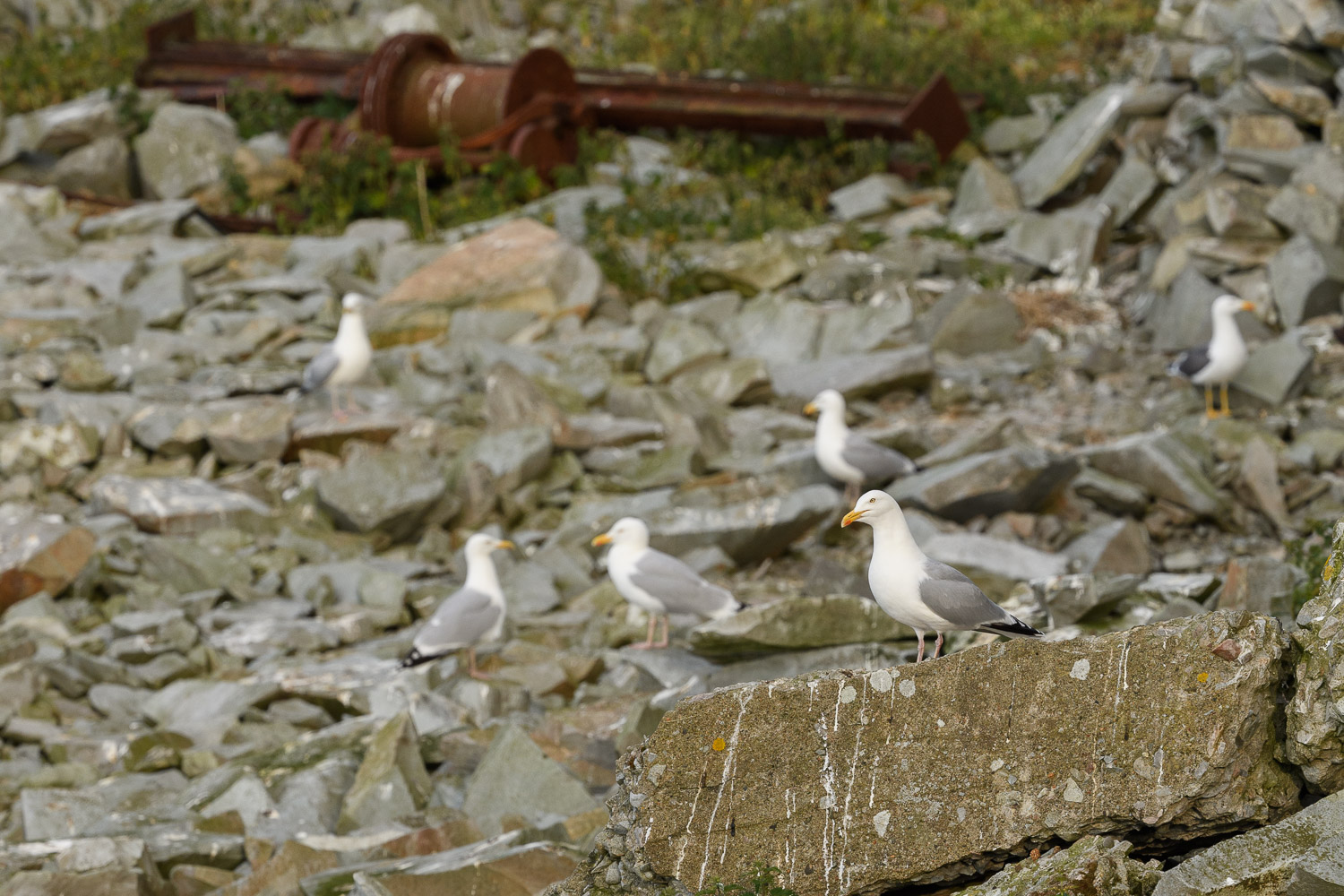 Gull Colony