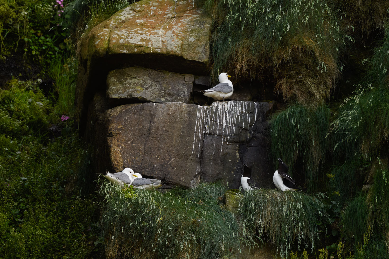 Kittiwakes And Razorbills