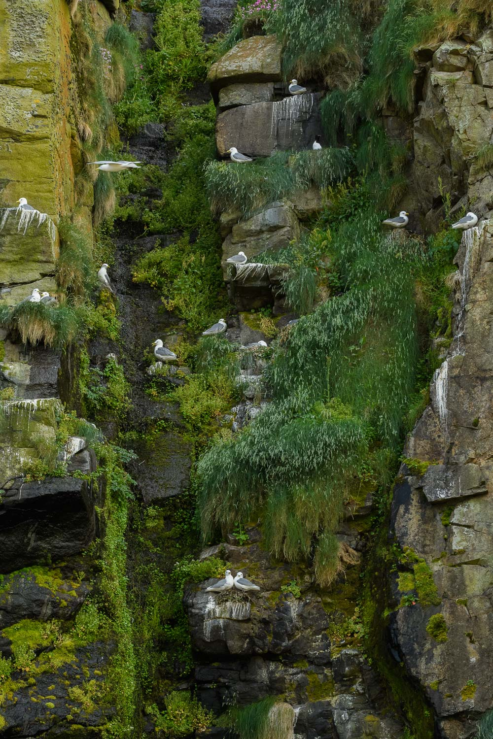 Kittiwake Colony On Cliff