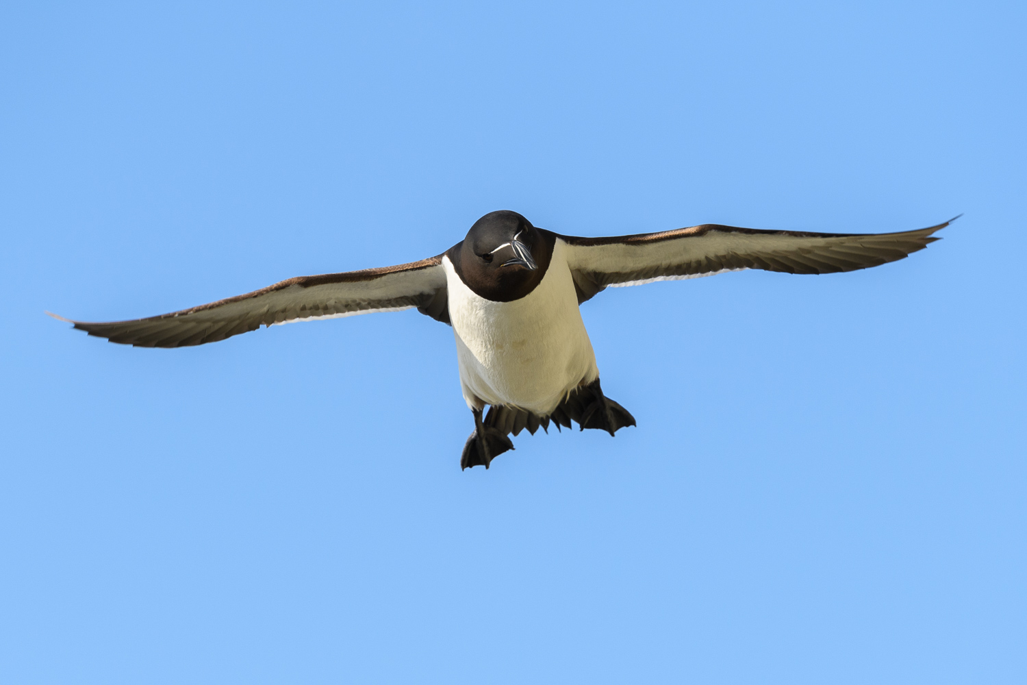 Razorbill In Flight