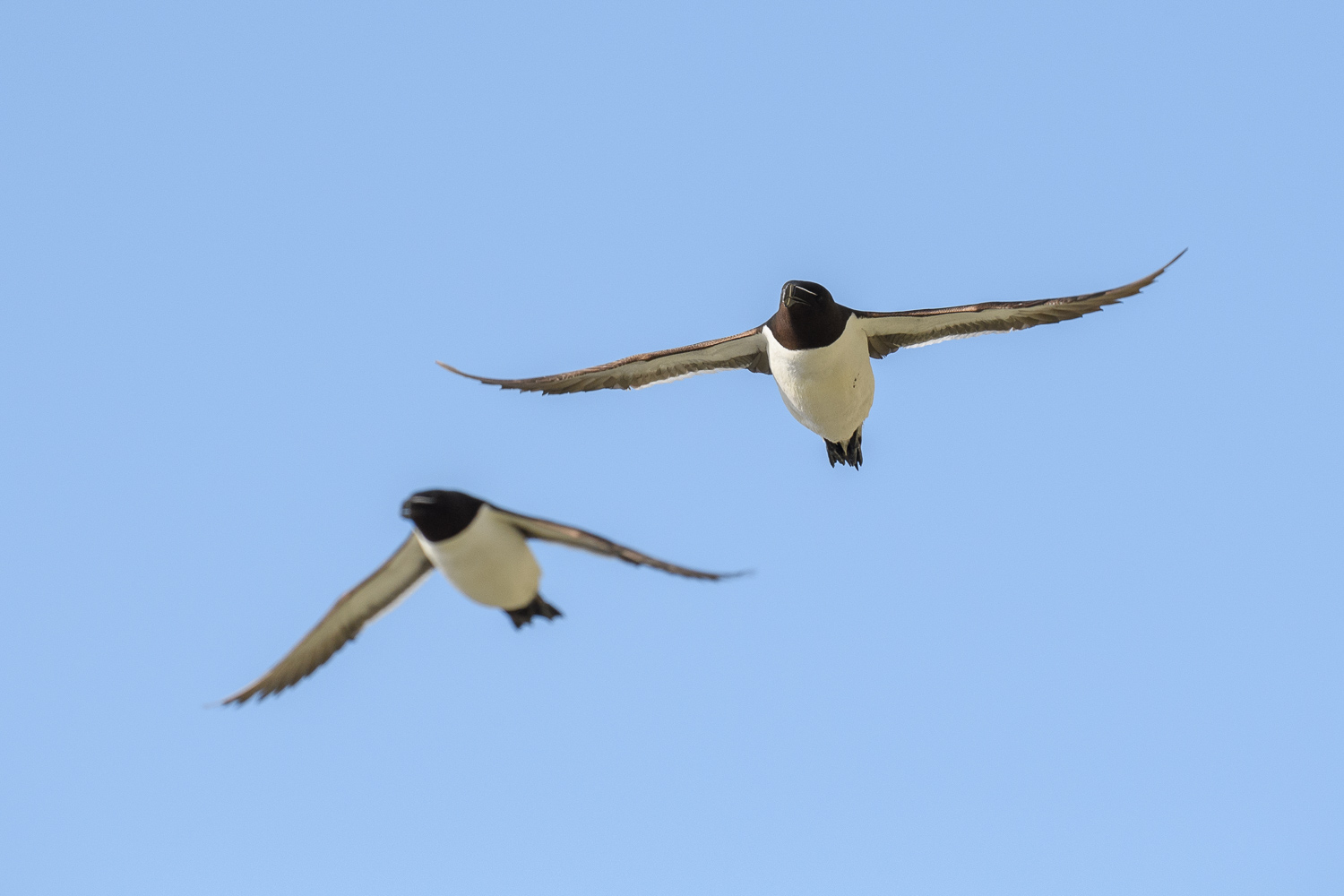 Razorbills In Flight