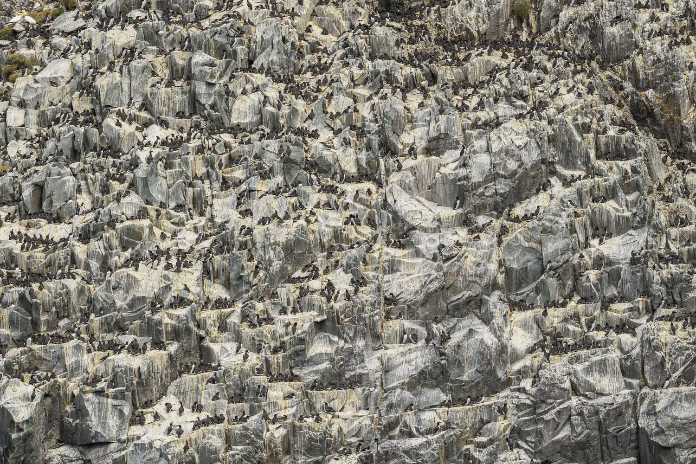 Guillemot (Uria aalge) nesting on cliffs, Ailsa Craig, Firth of