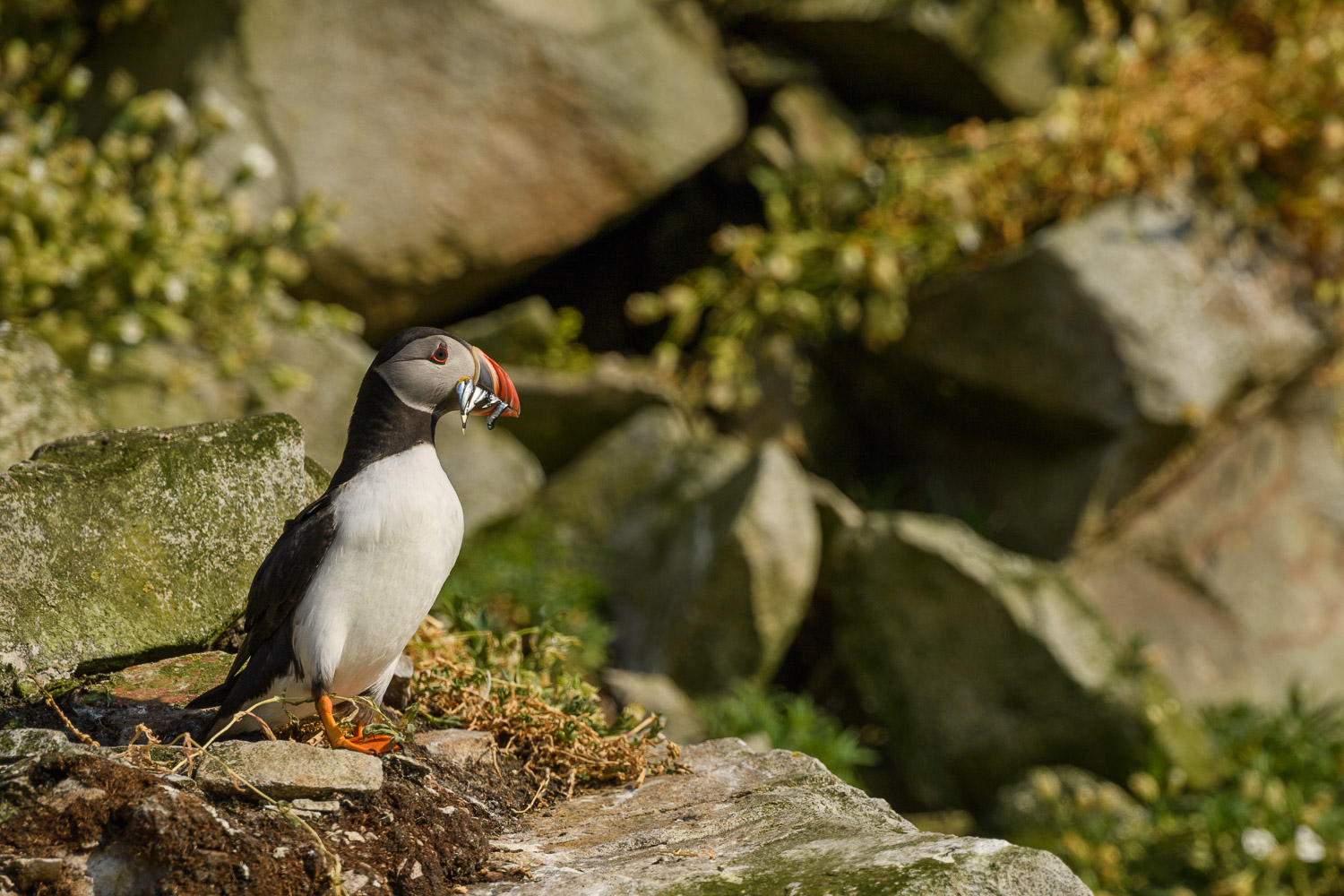 Puffin (Fratercula arctica) with Sand eels (Ammodytes americanus