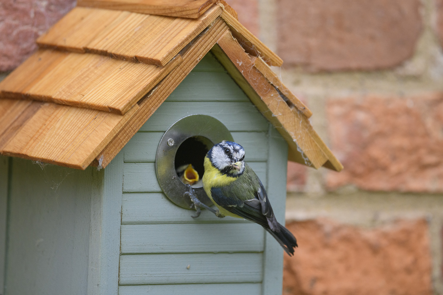 Adult Blue tit feeding young in nest box on house.