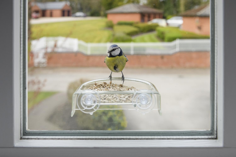 Blue tit feeding on seeds on feeder on house window.
