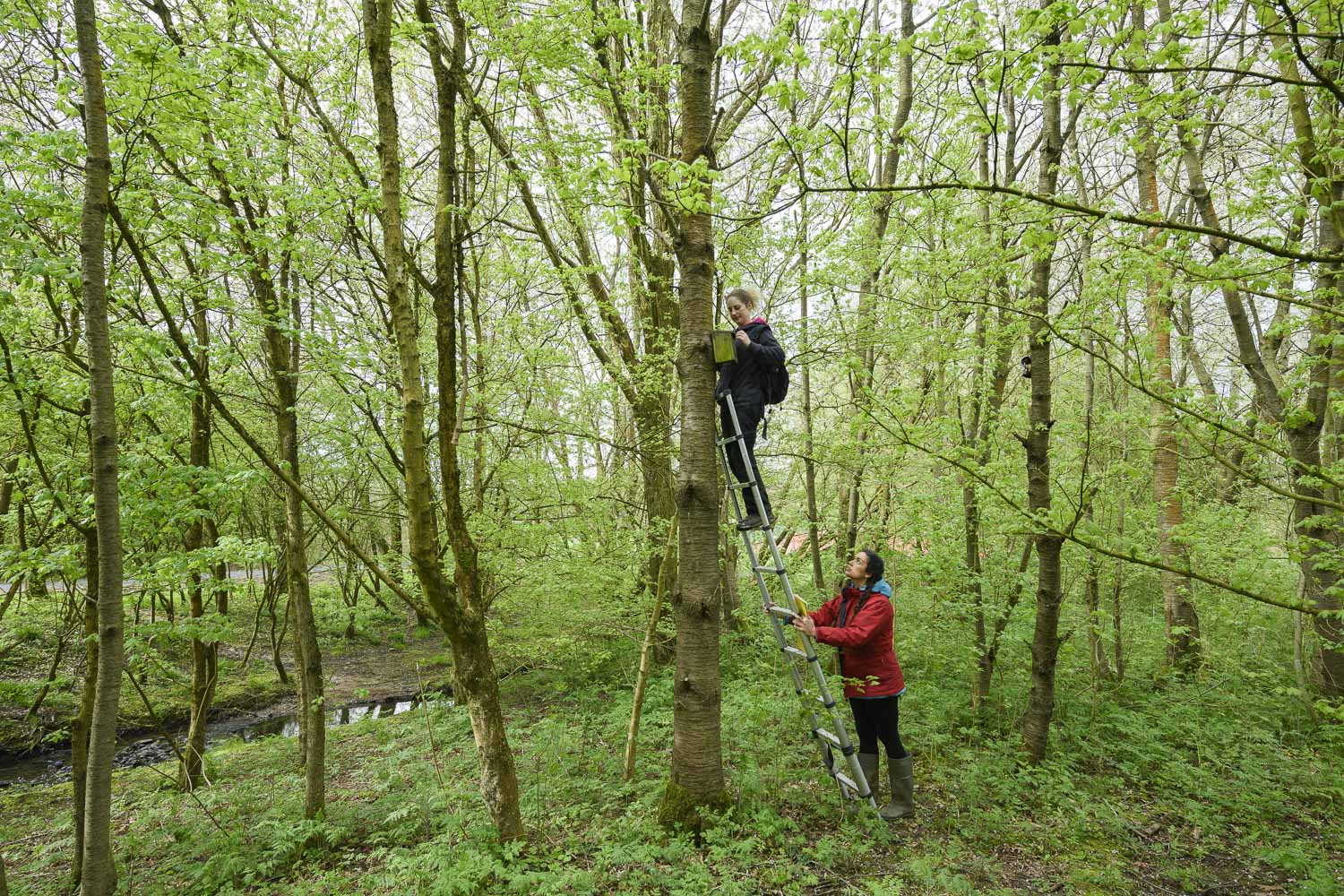 Vicki Pattison Willits and field assistant inspecting nest box at study site in urban woodland, Birmingham.ield research