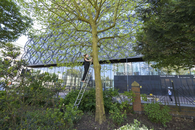 Vicki Pattison Willits inspecting nest box in study site in Birmingham City Centre.