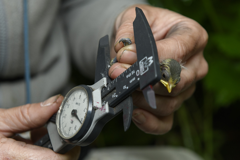 Vicki Pattison Willits measuring Blue tit.