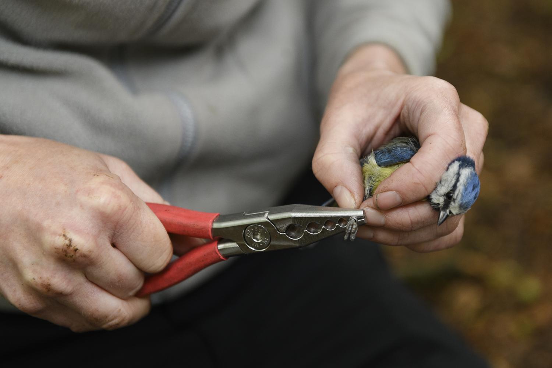 Vicki Pattison Willits ringing Blue tit at study site, Birmingham.