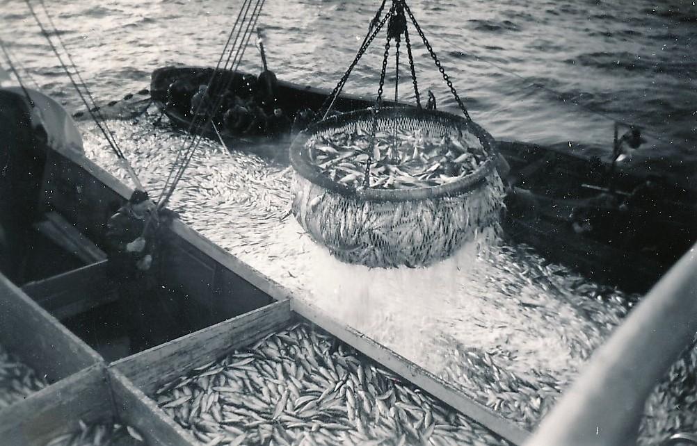 """Snurpenota er dratt sammen og havets sølv håves ombord i """"Strømegg""""."""
