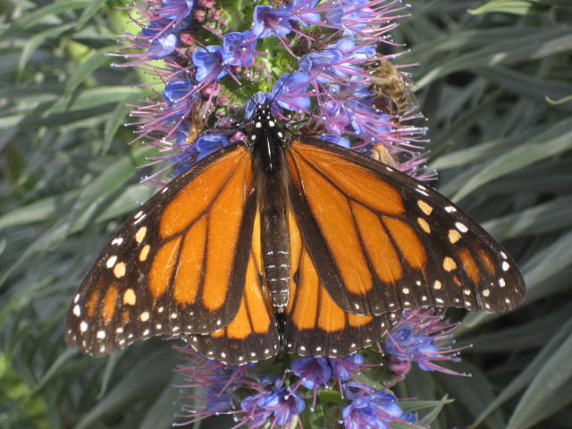 monarch best.JPG