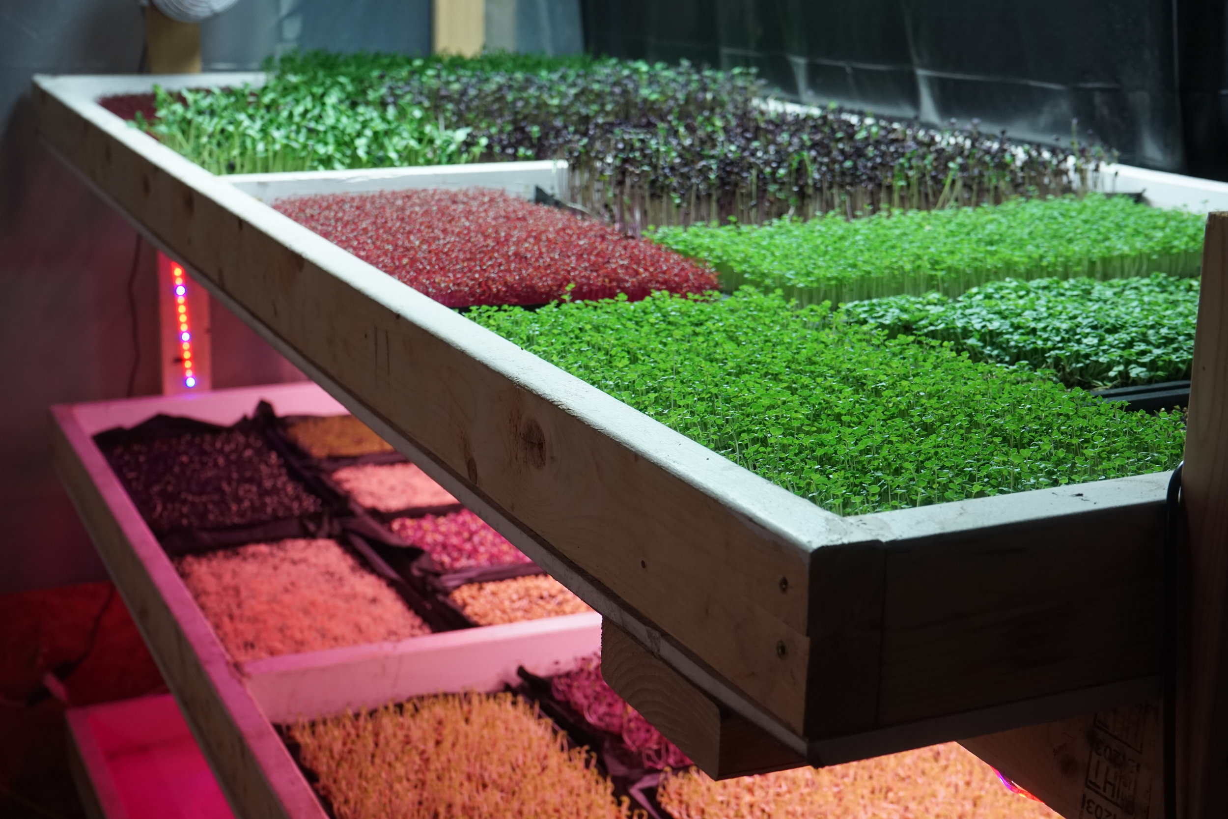 Lettuce Tree Farm's Microgreens