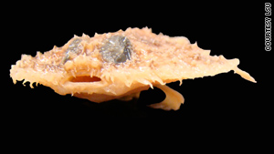 Little-known pancake batfish could be one of oil spill's early victimsCNN -